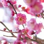 2/21(日)に「梅見の会」が行われます!【印旛沼公園】