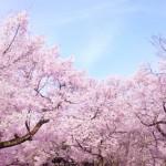 もうすぐ開花!印西市内の桜の名所を調べてみました。