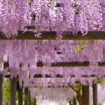 GW周辺が見頃!千葉県内の藤の名所5選(印西市から車で行ける範囲でピックアップ!)