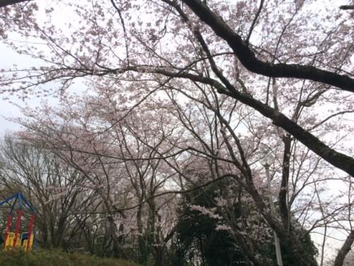inbanuma-sakura-03