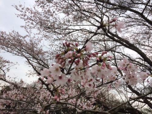 inbanuma-sakura-04