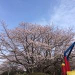印旛沼公園の桜を見てきました!【花見の会】