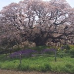 満開の吉高の大桜を見に行ってきました!【吉高の大桜まつり2016】