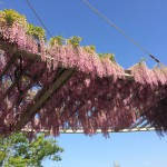 【印西】木下万葉公園で藤鑑賞! 国指定天然記念物「木下貝層」も見てきました。